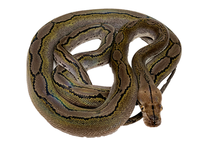 Citron Motley Reticulated Python